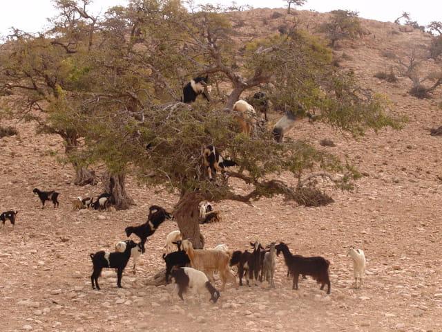 Chèvres dans un arganier