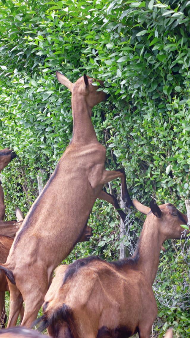 Chèvres du Beaujolais