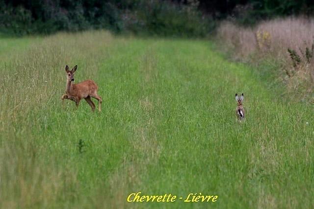 Chevrette et Lièvre