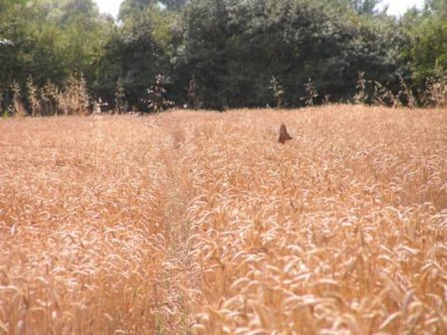 Chevreuil dans le blè