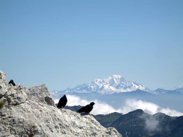 Choucas sur fons de mont blanc