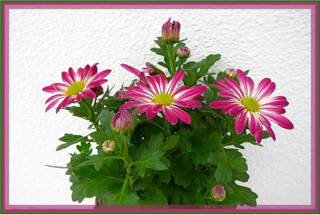 Chrysanthème de printemps