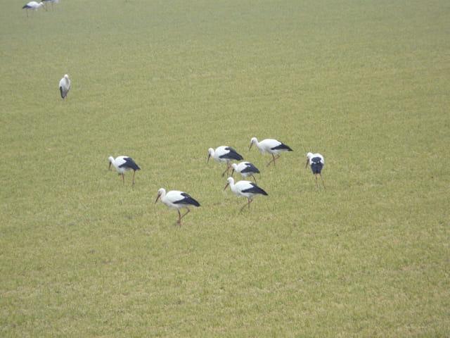 Cigogne à Maincy le 28/02/2012
