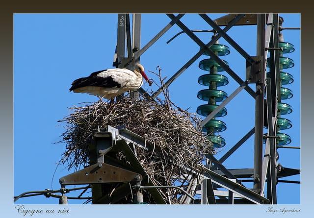 Cigogne au nid