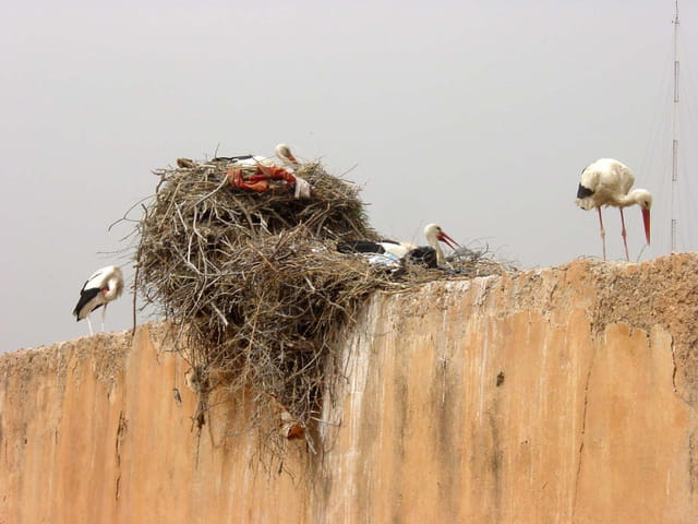 Cigognes de marrakech