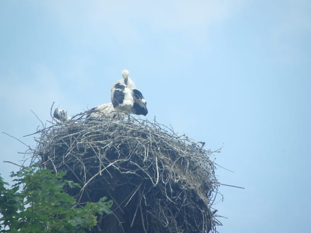 Cigognes et leur nid
