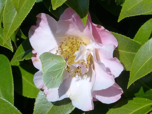 Citron et camellia Tiptoe