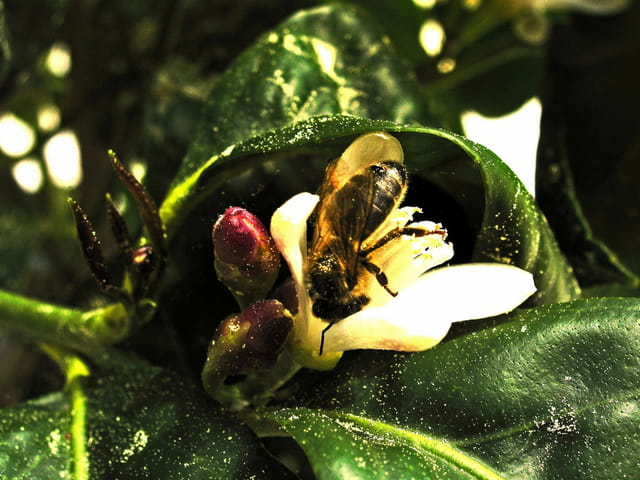 Citronnier a la recherche du pollen