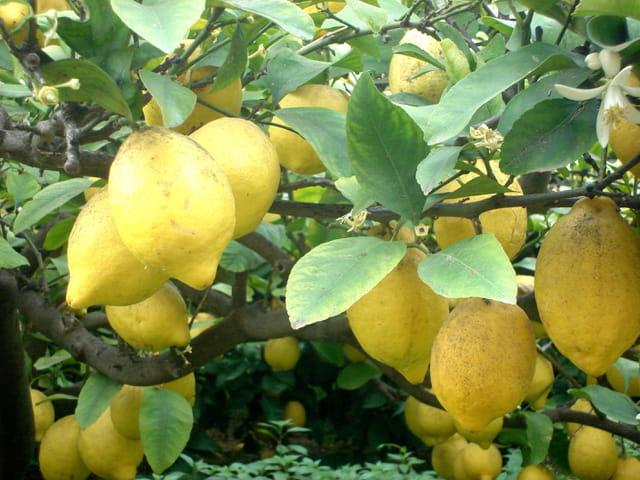 Citrons...