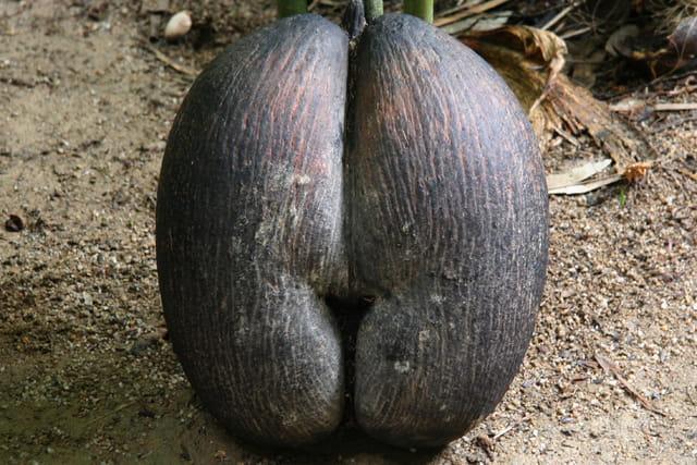 Coco-fesse