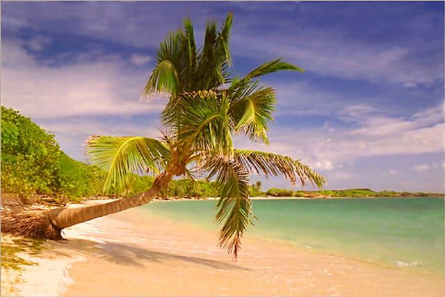 Cocotier de la plage des Salines