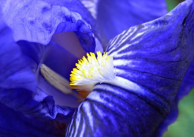 Coeur d\'iris