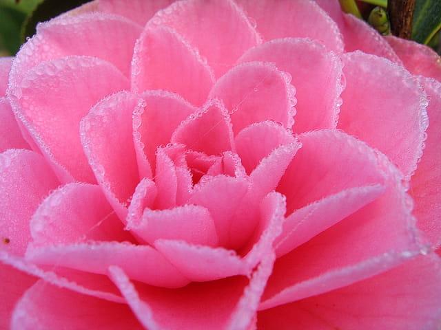 Coeur de camélia  et ses perles de rosée