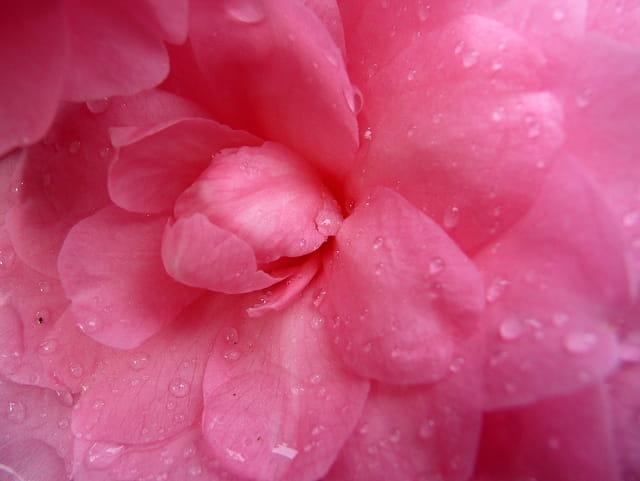 Coeur de camellia