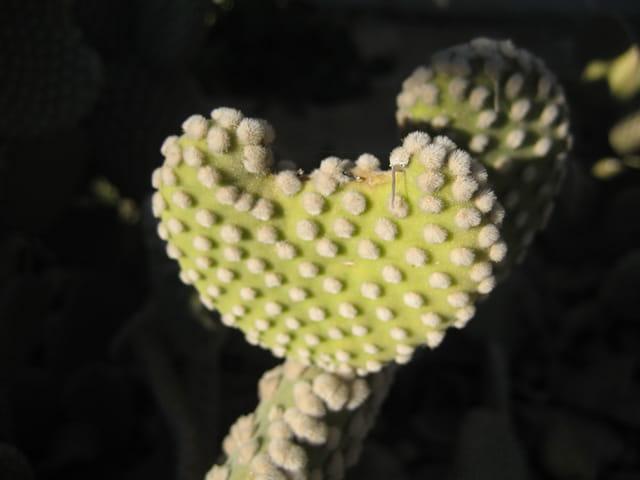 Coeur piquant