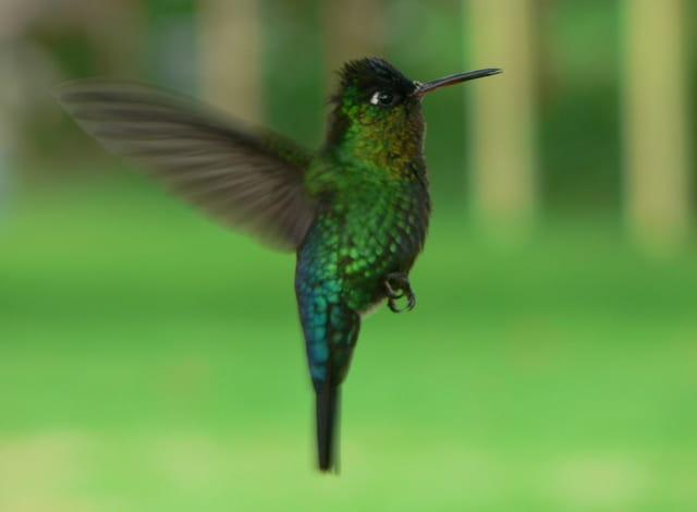 Colibris vert