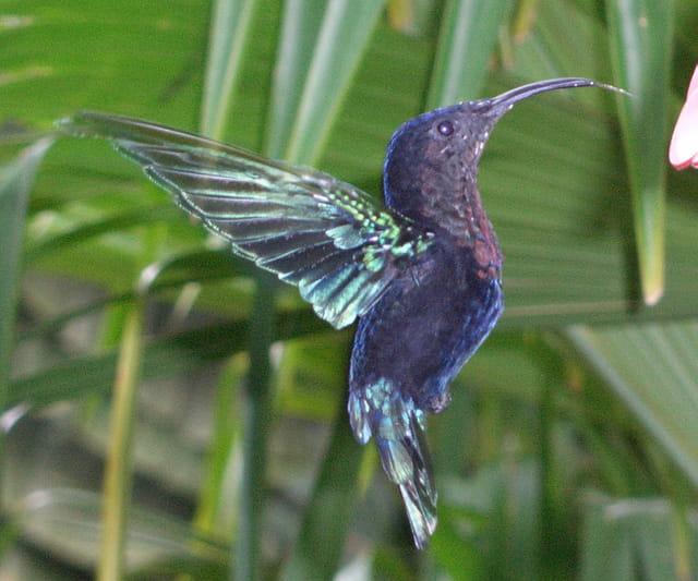 Colibri en vol par F.Nerveux
