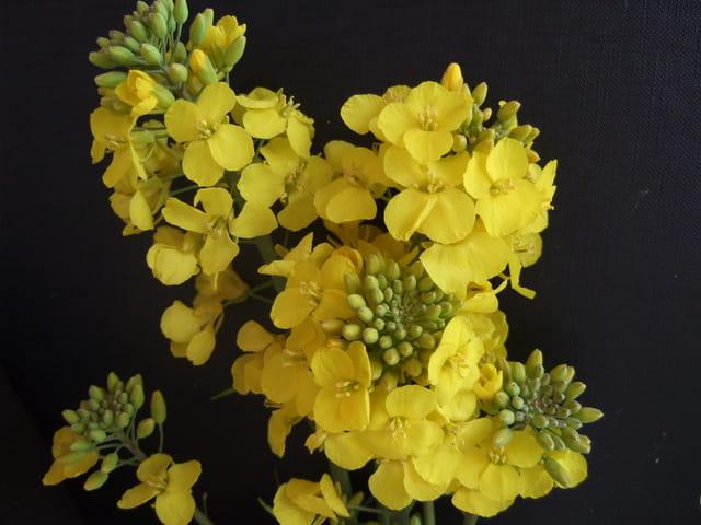 Colza normand en fleurs