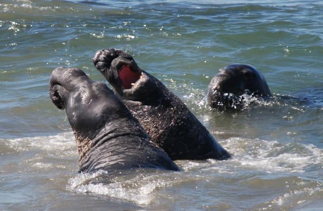 Combat d'éléphants de mer