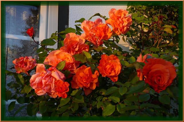 Comme un bouquet de roses