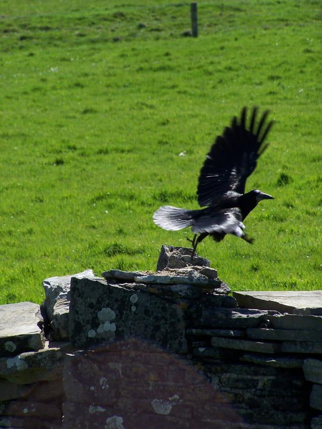 Comme un vol de corbeau...
