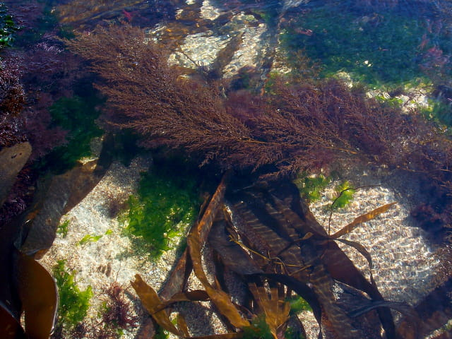 Composition d'algues marines