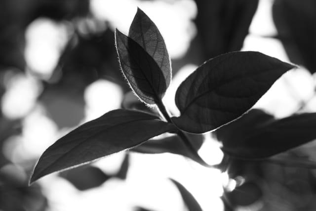 Contre-jour feuilles