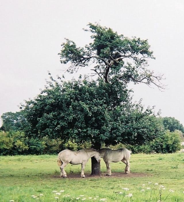 Conversation à l'ombre entre chevaux
