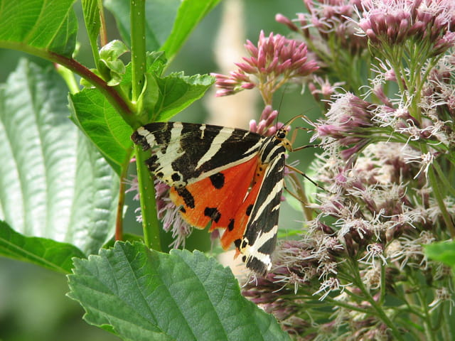 Copieux repas du papillon