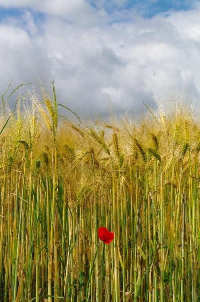Coquelicot au bord d'un champ de blé