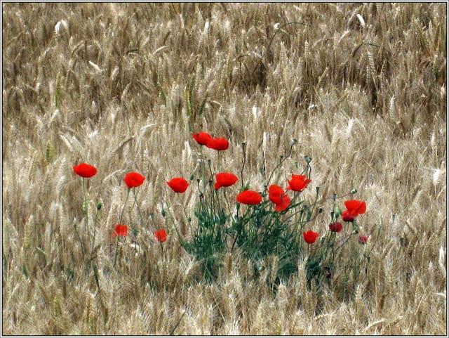 Coquelicots dans champ de blé