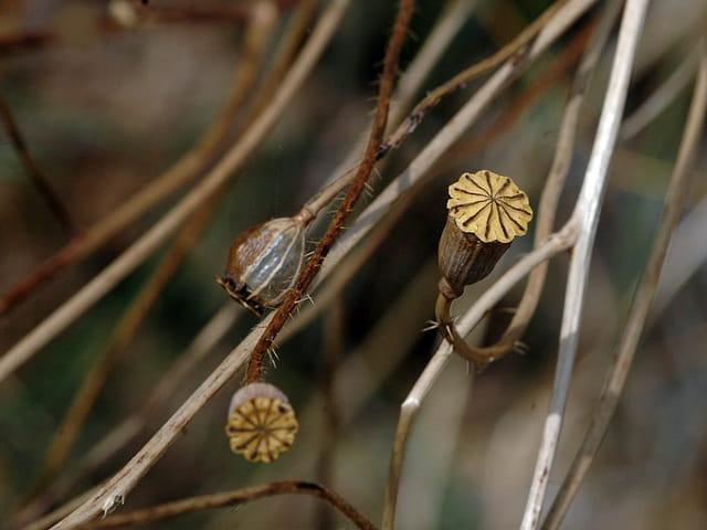 Coqueliquots post floraison
