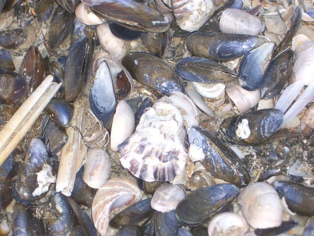 Coquillages et crustacés abandonnés sur la plage...