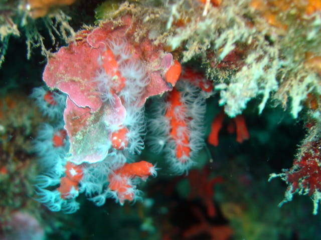 Corail rouge