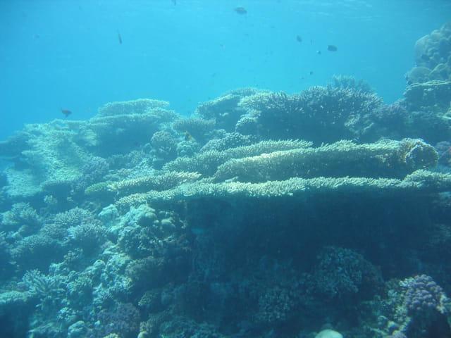 Corail tabulaire