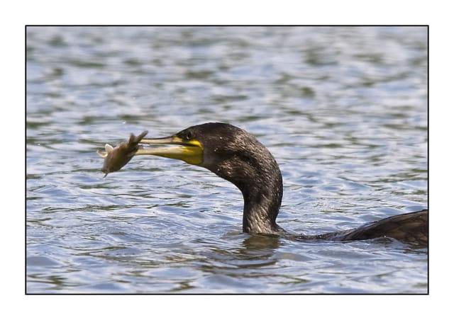 Cormoran pêche 3