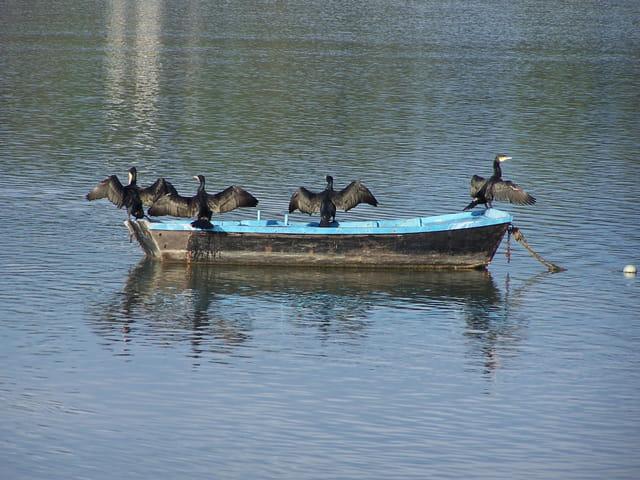 Cormorans passagers clandestins