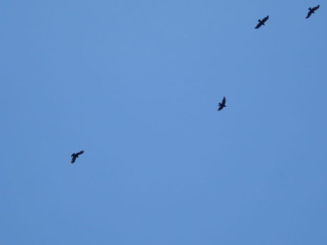 Corneilles dans le ciel