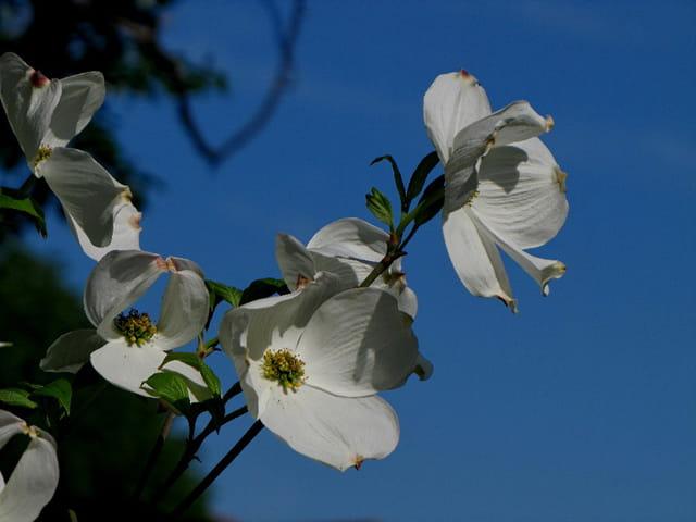 Cornouiller à grandes fleurs 3