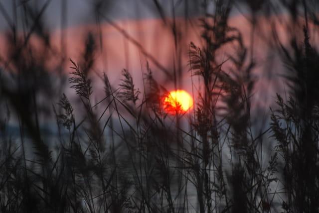 coucher de soleil dans les roseaux