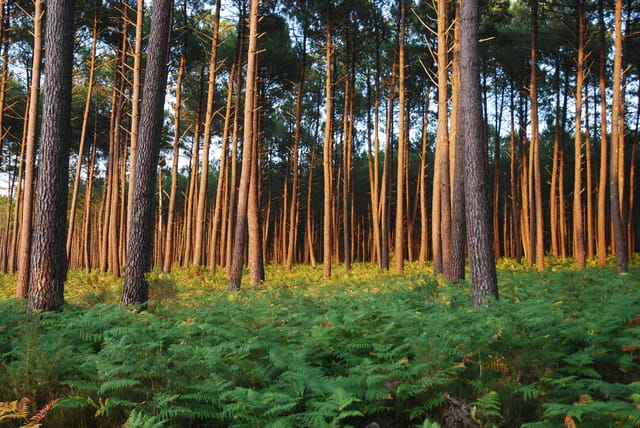 coucher de soleil sur la forêt Landaise
