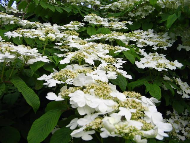 Coulée de fleurs blanches