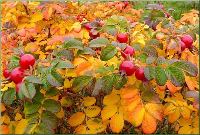 Couleurs d'automne - Cynorrhodons