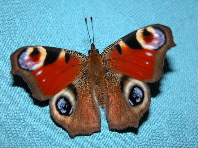 Couleurs d'automne : papillon