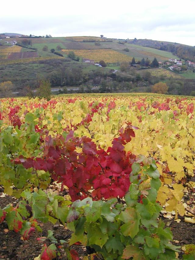 Couleurs en vignoble beaujolais