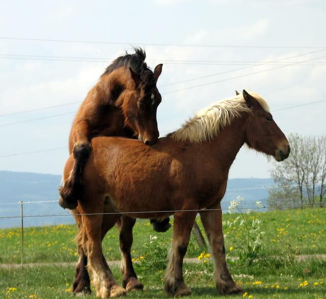 Couple de chevaux Francs-Comtois