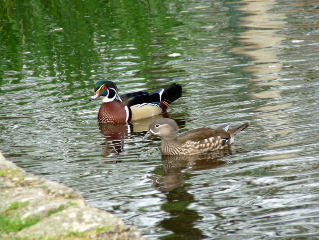 Couple de canards carolin