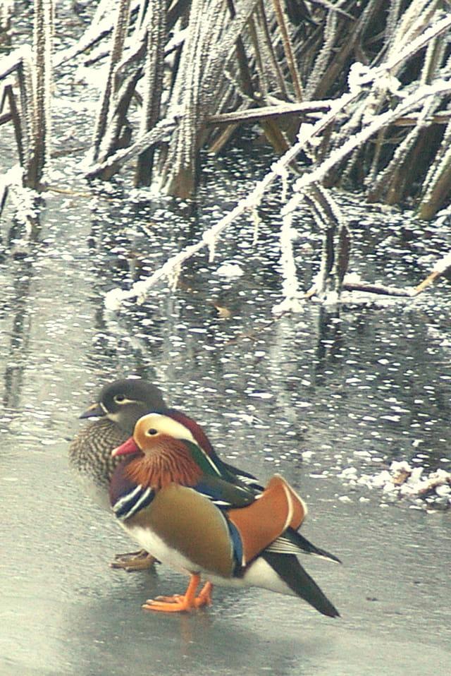 Couple de canards mandarins