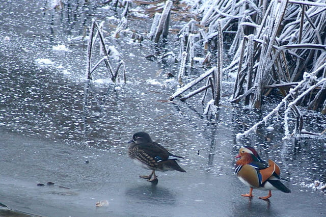 Couple de canards mandarins