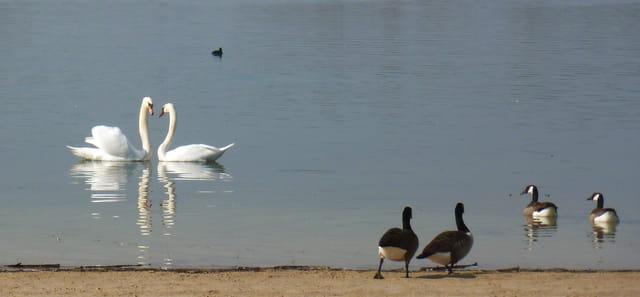 couple de cygnes et reflets sur l'étang